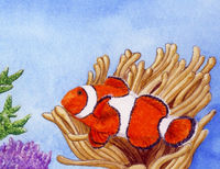 Common Clownfish
